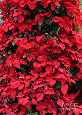 Photograph - Poinsettias 2 by Randall Weidner
