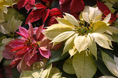 Poinsettias At Doi Tung Palace Art Print by Anne Keiser