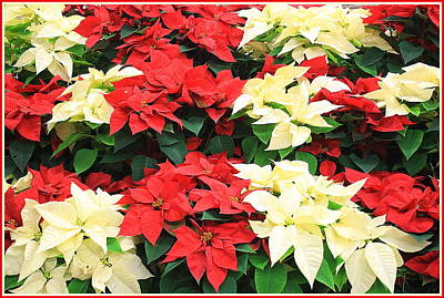 Photograph - Poinsettias For Christmas by Dora Sofia Caputo Photographic Design and Fine Art