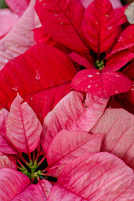 Photograph - Poinsettias For The Holidays by Stephanie Maatta Smith