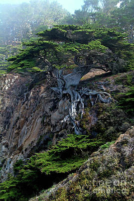 Red Foxes - Point Lobos Veteran Cypress Tree by Charlene Mitchell