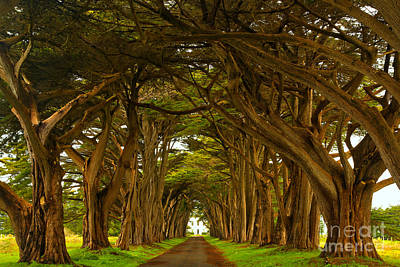 Point Reyes Cypress Tunnel Art Print by Adam Jewell