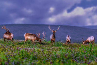 Photograph - Point Reyes Elk by PhotoWorks By Don Hoekwater