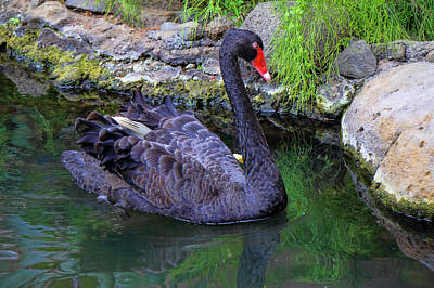 Photograph - Poised Black Swan by Pamela Walton