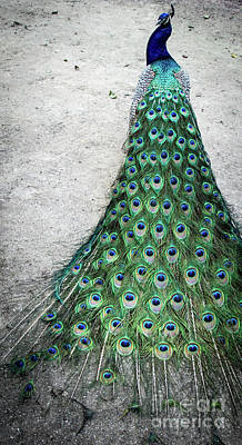 Photograph - Poised Peacock by Cheryl McClure