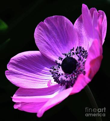 Photograph - Poised Pink Poppy  by Cindy Manero