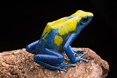 Frogs Photograph - poison arrow frog Amazon jungle by Dirk Ercken