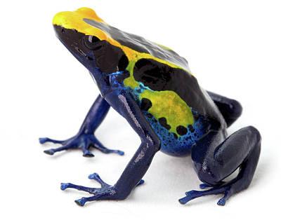 Poison Arrow Frog - Dendrobates Tinctorius Art Print by Dirk Ercken