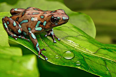Frogs Photograph - poison art frog Panama by Dirk Ercken