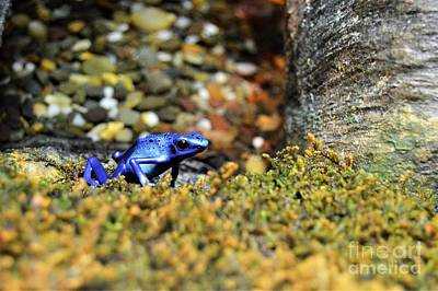 Photograph - Poison Dart Blue Frog by Brigitte Emme
