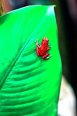 Photograph - Poison Dart Frog At Red Frog Beach by John Rizzuto