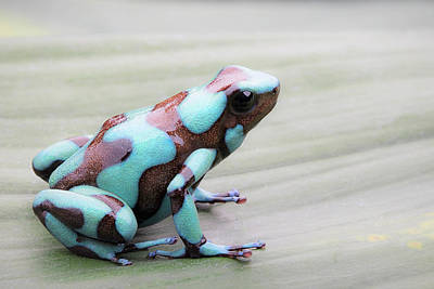 Frogs Photograph - Poison Dart Frog, Dendrobates Auratus. by Dirk Ercken