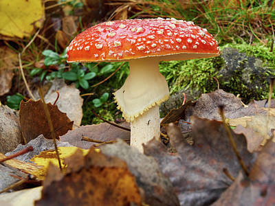 Photograph - Poisonous Beauty. Fly Amanita by Jouko Lehto