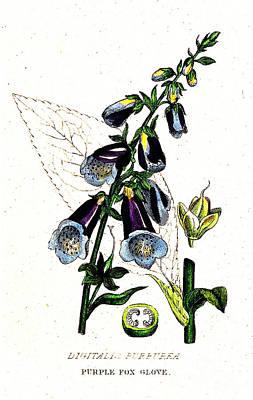 Poisonous Purple Foxglove, Illustration Art Print by Wellcome Images
