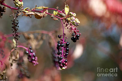 Photograph - Pokeweed Berries 20121020_129 by Tina Hopkins