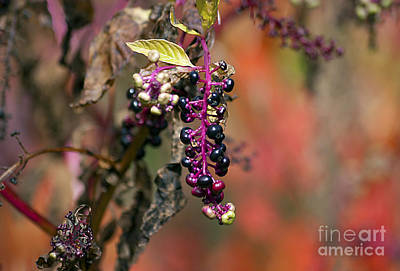 Photograph - Pokeweed Berries 20121020_130 by Tina Hopkins