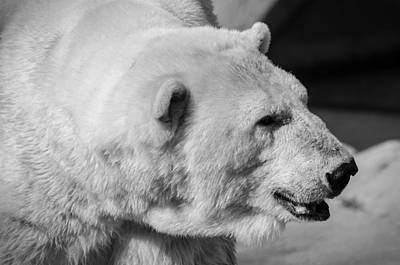 Photograph - Polar Bear 1 by Susan McMenamin