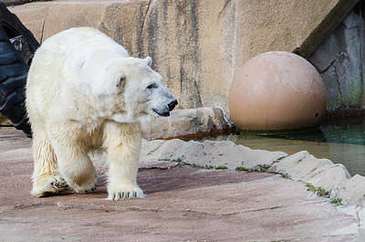 Photograph - Polar Bear 2 by Susan McMenamin