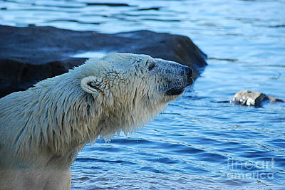 Photograph - Polar Bear 20150117_154 by Tina Hopkins
