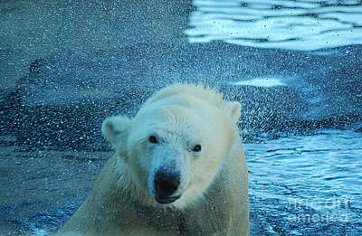 Photograph - Polar Bear 20150117_166 by Tina Hopkins