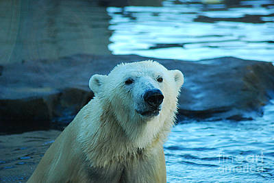 Photograph - Polar Bear 20150117_168 by Tina Hopkins