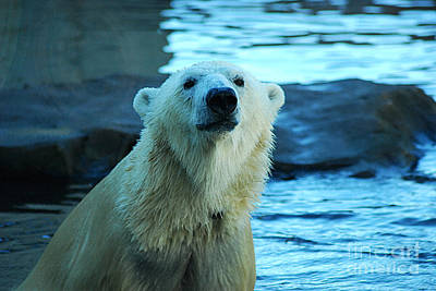 Photograph - Polar Bear 20150117_169 by Tina Hopkins