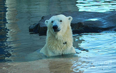 Photograph - Polar Bear 20150117_178 by Tina Hopkins