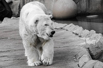 Photograph - Polar Bear 3 by Susan McMenamin