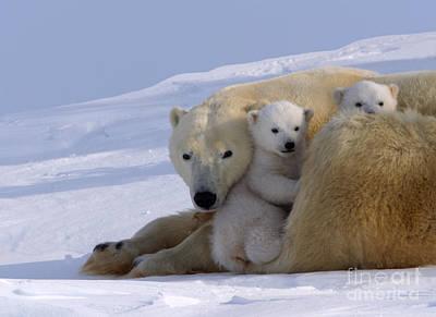 Polar Bear And Cubs Art Print
