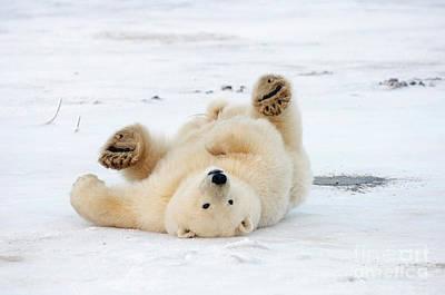 Nanook Photograph - Polar Bear At Play by Steven Kazlowski