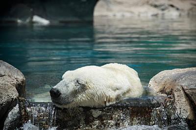 Photograph - Polar Bear Bliss by Mary Lee Dereske