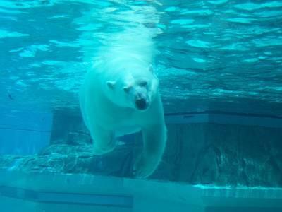 Polar Bear Coming At You Art Print