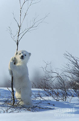 Canadian Wildlife Photograph - Polar Bear Cub Playing by Jean-Louis Klein and Marie-Luce Hubert
