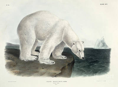 Ice Fishing Painting - Polar Bear by John James Audubon
