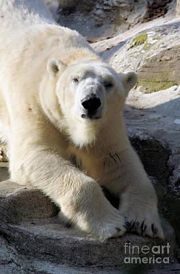 Polar Bear Art Print by Karol Livote