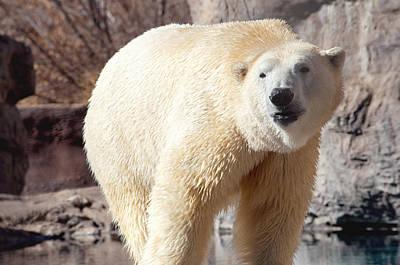 Nanook Photograph - Polar Bear by Kristy Viera