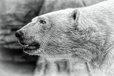Photograph - Polar Bear by Lynn Sprowl