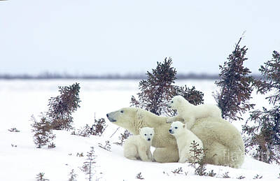 Photograph - Polar Bear Mom And Four Cubs by Matthias Breiter