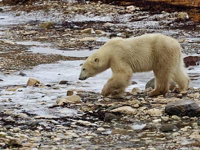 Photograph - Polar Bear On The Tundra by Christine Montague