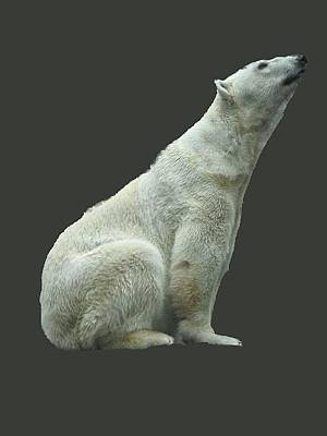 Photograph - Polar Bear by Pamela Walton