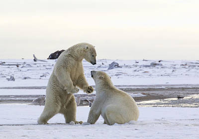 Polar Bear Play-fighting Art Print