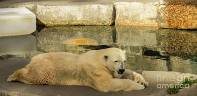 Photograph - Polar Bear Poolside by Suzanne Luft