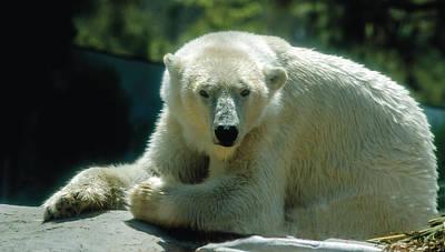 Photograph - Polar Bear Portrait 2 by William Bitman