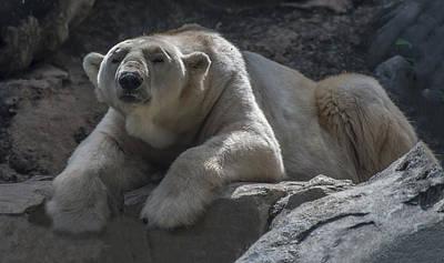 Photograph - Polar Bear Portrait 3 by William Bitman