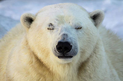 Polar Bear Portrait. Art Print by Andrey Tsvirenko