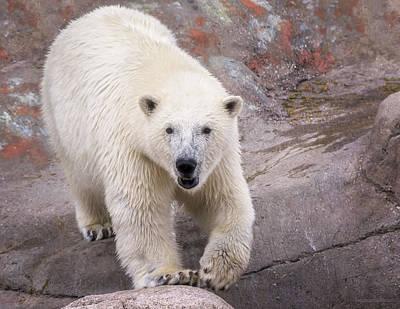 Photograph - Polar Bear Prowl  by LeeAnn McLaneGoetz McLaneGoetzStudioLLCcom