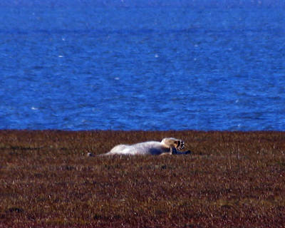 Photograph - Polar Bear Rolling In Tundra Grass by Anthony Jones