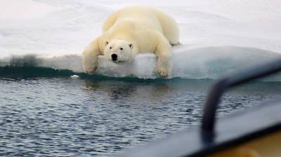 Photograph - Polar Bear Says 'huh' by David Rich