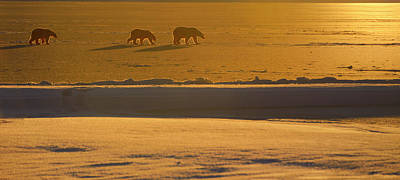 Alaska Photograph - Polar Bear Sow And Cubs In Silhouette With Golden Sunset On Kakt by Reimar Gaertner