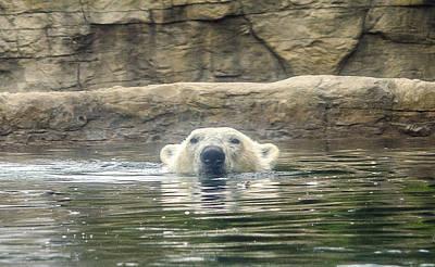 Photograph - Polar Bear Swimming Portrait by William Bitman